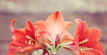photo-amaryllis-plante-interieur
