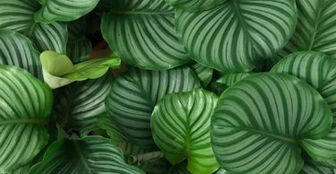 photo-calathea-plante-interieur