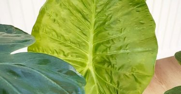 photo-alocasia-plante-interieur