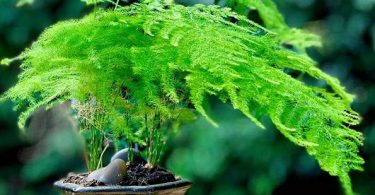 photo-asparagus-plumosus-plante-interieur