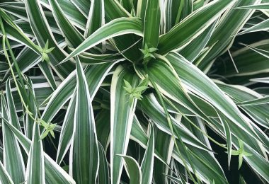 photo-chlorophytum-plante-interieur