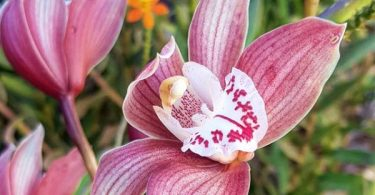 photo-cymbidium-plante-interieur