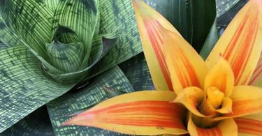 photo-guzmania-plante-interieur