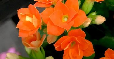photo-kalanchoe-plante-interieur