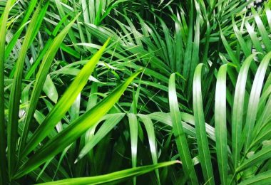 photo-kentia-plante-interieur