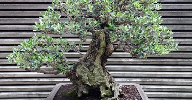 photo-olivier-bonsai-plante-interieur