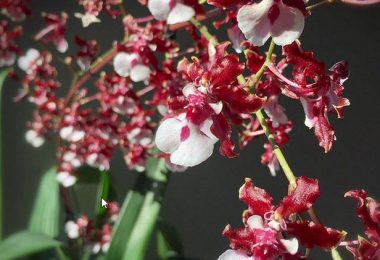 photo image oncidium