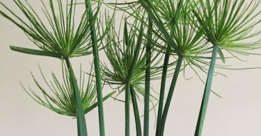 photo-papyrus-plante-interieur