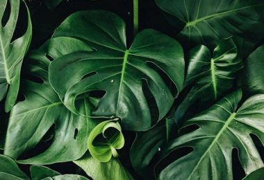 photo-philodendron-monstera