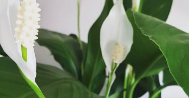 photo-spathiphyllum-plante-interieur