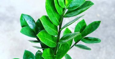 photo-zamioculcas-plante-interieur