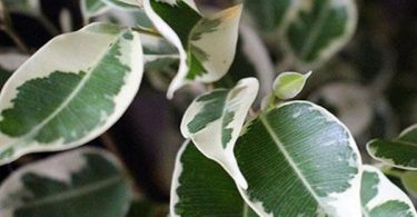 ficus benjamina photo, arrosage, entretien