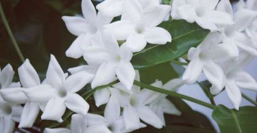 stephanotis image