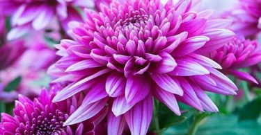chrysanthème photo image