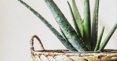 photo-aloe-vera-plante-interieur