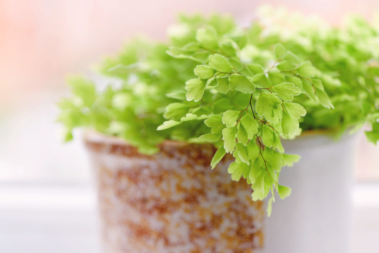 photo-adiantum-plante-interieur
