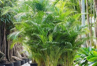 photo-areca-plante-interieur