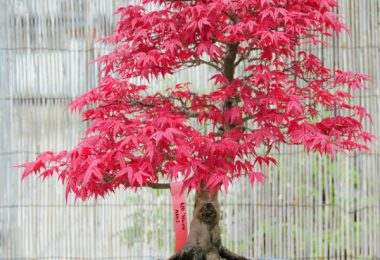 photo-erable-du-japon-acer-palmatum