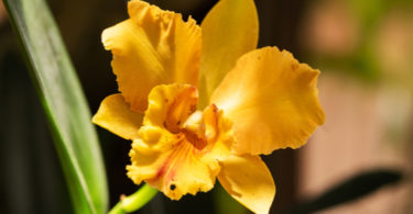 cattleya orchidee