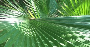 photo-chamaerops-humilis-plante-interieur