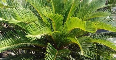 photo-cycas-plante-interieur