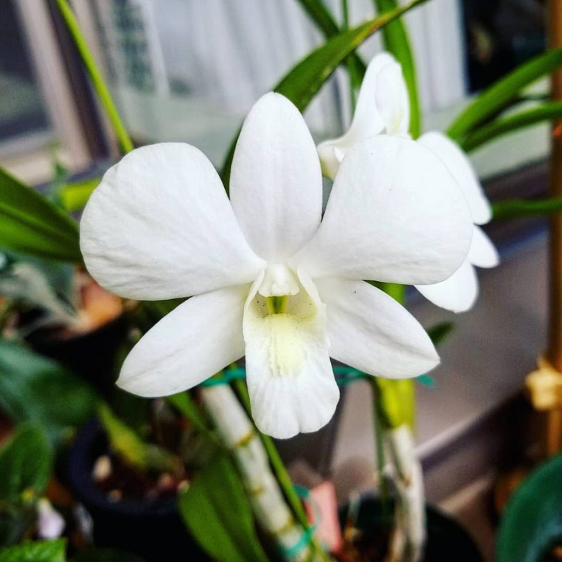 photo-dendrobium-plante-interieur