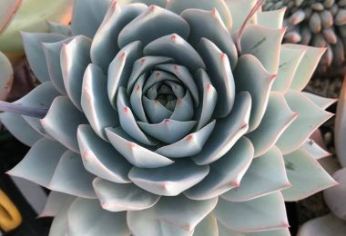 photo-echeveria-succulente