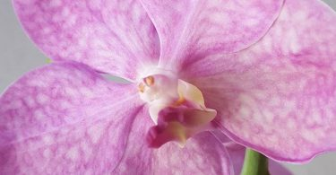 orchidée vanda photo