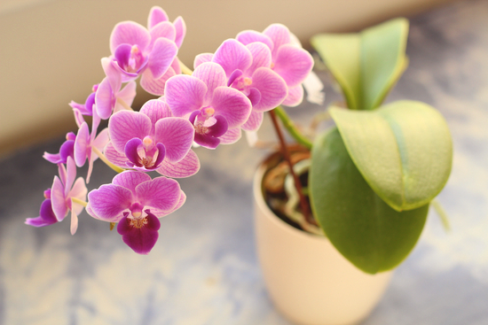 photo-phalaenopsis-plante-interieur