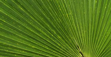 photo-trachycarpus-fortune