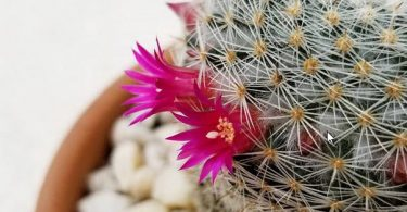 photo-mammillaria-cactus
