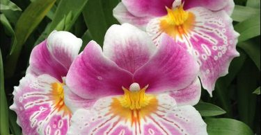 photo-miltonia-orchidee