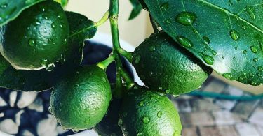 citronnier en pot, citrus photo