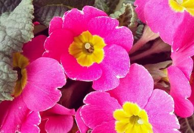image photo primevère, primula