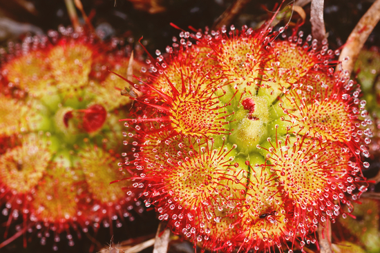 photo-drosera-plante-carnivore