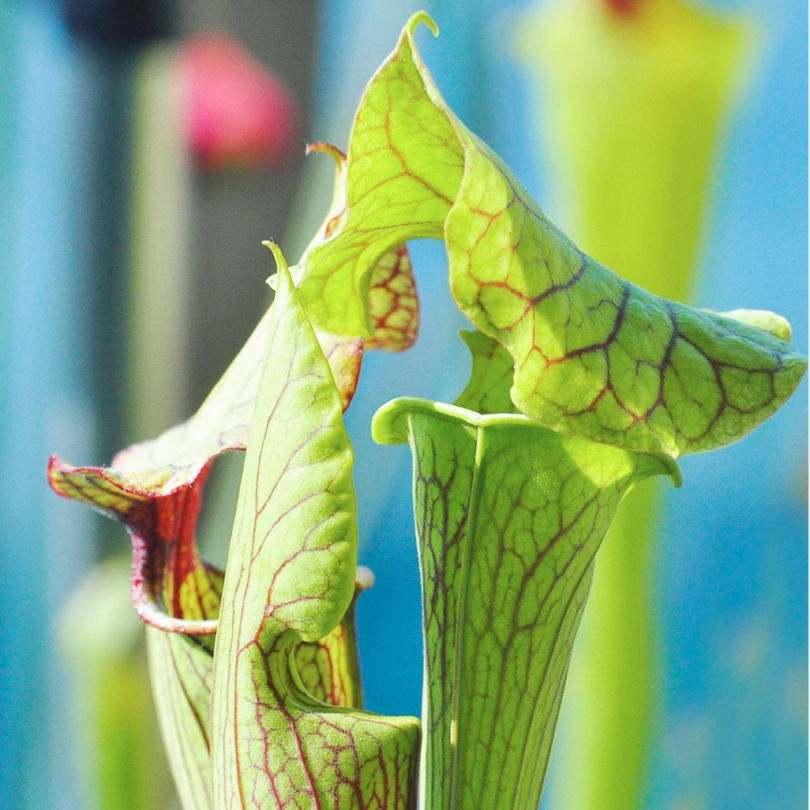photo sarracenia