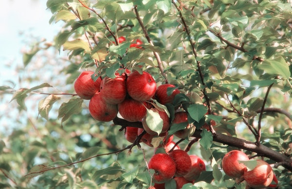 pollinisation arbres fruitiers